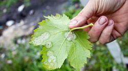 Как бороться с мучнистой росой или оидиумом на винограде