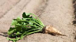 Сорта и агротехника сахарной свеклы