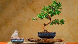 Как вырастить бонсай кармона в домашних условиях