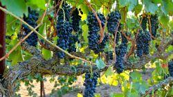 Лучшие сорта неукрывного винограда для Подмосковья