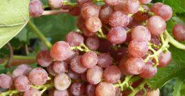 Кишмиш с привкусом муската – виноград Лучистый