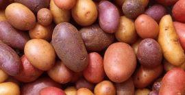 Сорта картофеля: какие выбрать для посадки и хранения