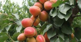 Сезонная обрезка абрикоса