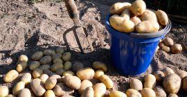 Выращивание картофеля сорта Сынок