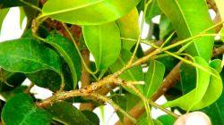 Фикус: борьба с болезнями и атаками насекомых