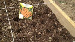 Как сажать морковь семенами: посев в открытом грунте