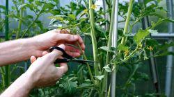 Как правильно формировать детерминантные томаты