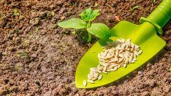 Как правильно сажать огурцы семенами в открытый грунт