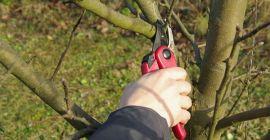 Технология обрезки старых яблонь в 3 сезона