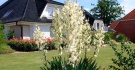 Выращивание юкки садовой: правила, которые необходимо знать