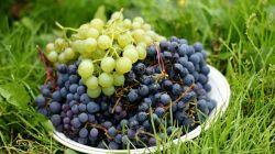 Основные правила посадки и ухода за виноградом в Сибири