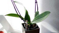 Почему не цветет орхидея в домашних условиях и что с этим делать