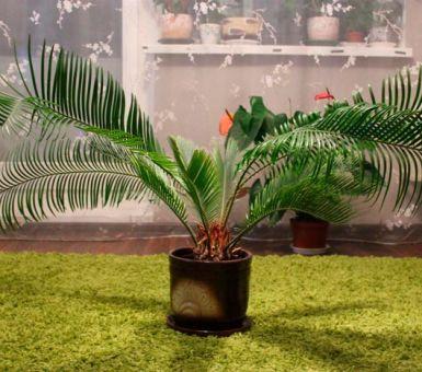 Правильный уход за пальмой в домашних условиях
