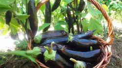 Особенности выращивания баклажанов на Урале