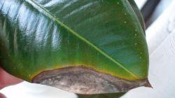 Причины почернения и опадения листьев у фикуса