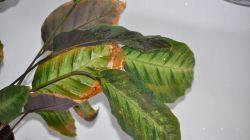 Эффективное лечение калатеи от болезней и вредителей