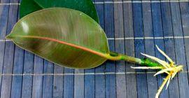 Особенности размножения каучуконосного фикуса