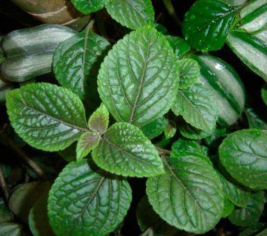 Комнатная мята или плектрантус: разновидности растения и особенности ухода