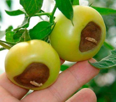 Почему чернеют помидоры и как с этим бороться