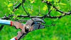 Сроки и правила обрезки деревьев в саду