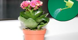 Полив каланхоэ при выращивании в домашних условиях