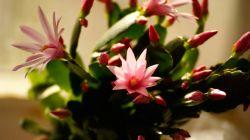 Виды и выращивание лесных кактусов в домашних условиях