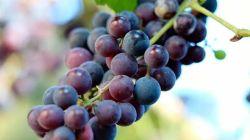 Все о винограде Изабелла: описание, уход, особенности