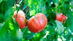 Как избежать растрескивания помидоров в теплице