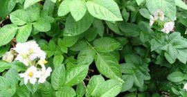 Картофельная ботва – качественное удобрение и эффективное средство от вредителей