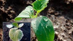 Почему бледнеют листья на огурцах