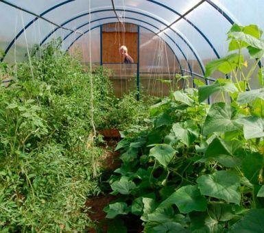 Культивирование огурцов и помидоров в одной теплице