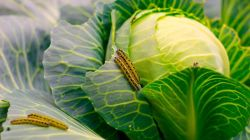 17 средств для обработки капусты от гусениц