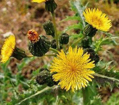 Осот огородный и полевой: фото растения, полезные свойства и меры борьбы