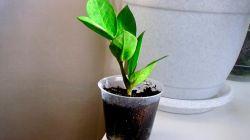 Способы размножения замиокулькаса: посадка и особенности выращивания
