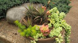 Все о садовых суккулентах