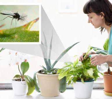 Как избавиться от мошек в комнатных растениях