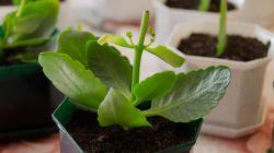 Правильная обрезка каланхоэ – залог его здоровья и обильного цветения