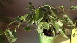 Причины, по которым у фикуса скручиваются листья, и методы избавления от этой проблемы