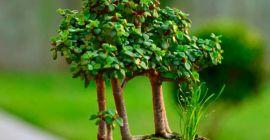 Как выращивать портулакарию в домашних условиях