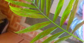Почему сохнут листья у хамедореи