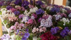 Популярные виды комнатных фиалок и секреты их успешного выращивания