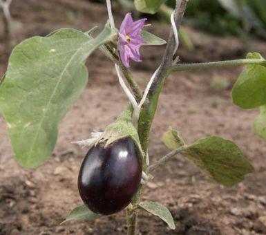 Агротехника баклажанов в Подмосковье в открытом грунте и теплице