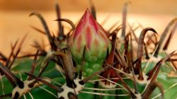 Как выращивать Ферокактус дома: правила и особенности ухода