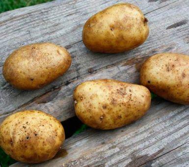 Как правильно выращивать картофель Удача: от посадки до сбора урожая