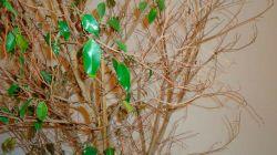 Причины опадания листьев у фикуса и способы лечения растения