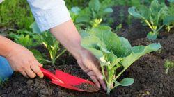 Что нужно класть в лунку при посадке капусты?