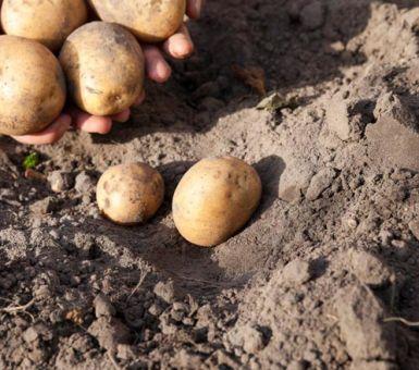 Выращивание картофеля сорта Каратоп