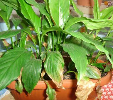 Почему поникли листья у спатифиллума и вянет цветок