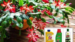Правила подкормки декабриста для пышного цветения