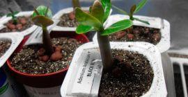 Как размножить адениум в домашних условиях